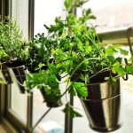 A Quick Guide to Windowsill Herb Garden